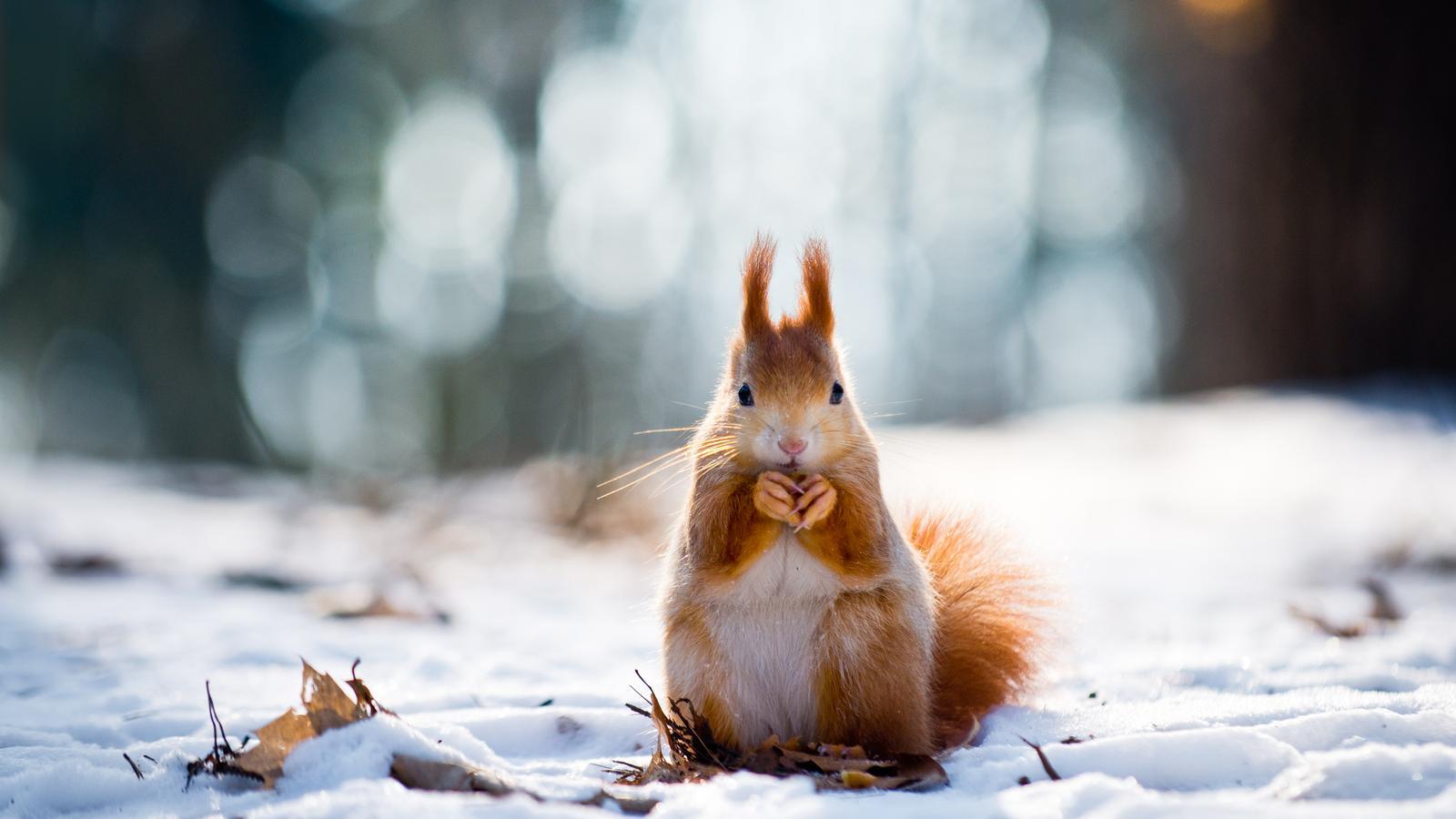 Winter Wonderland Eichhörnchen