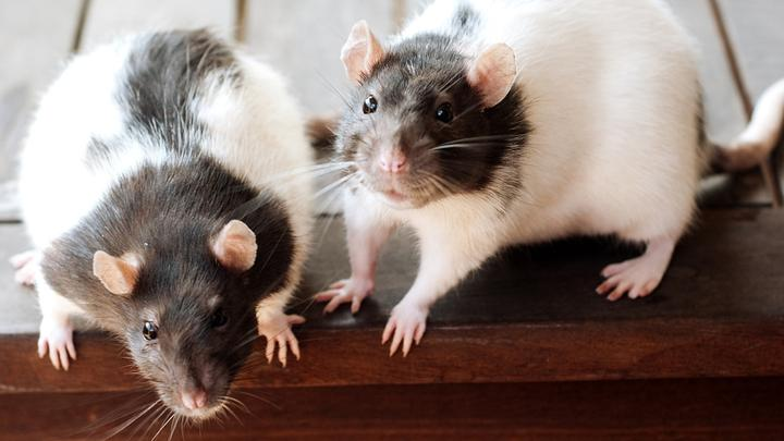Leseliste-Ratten