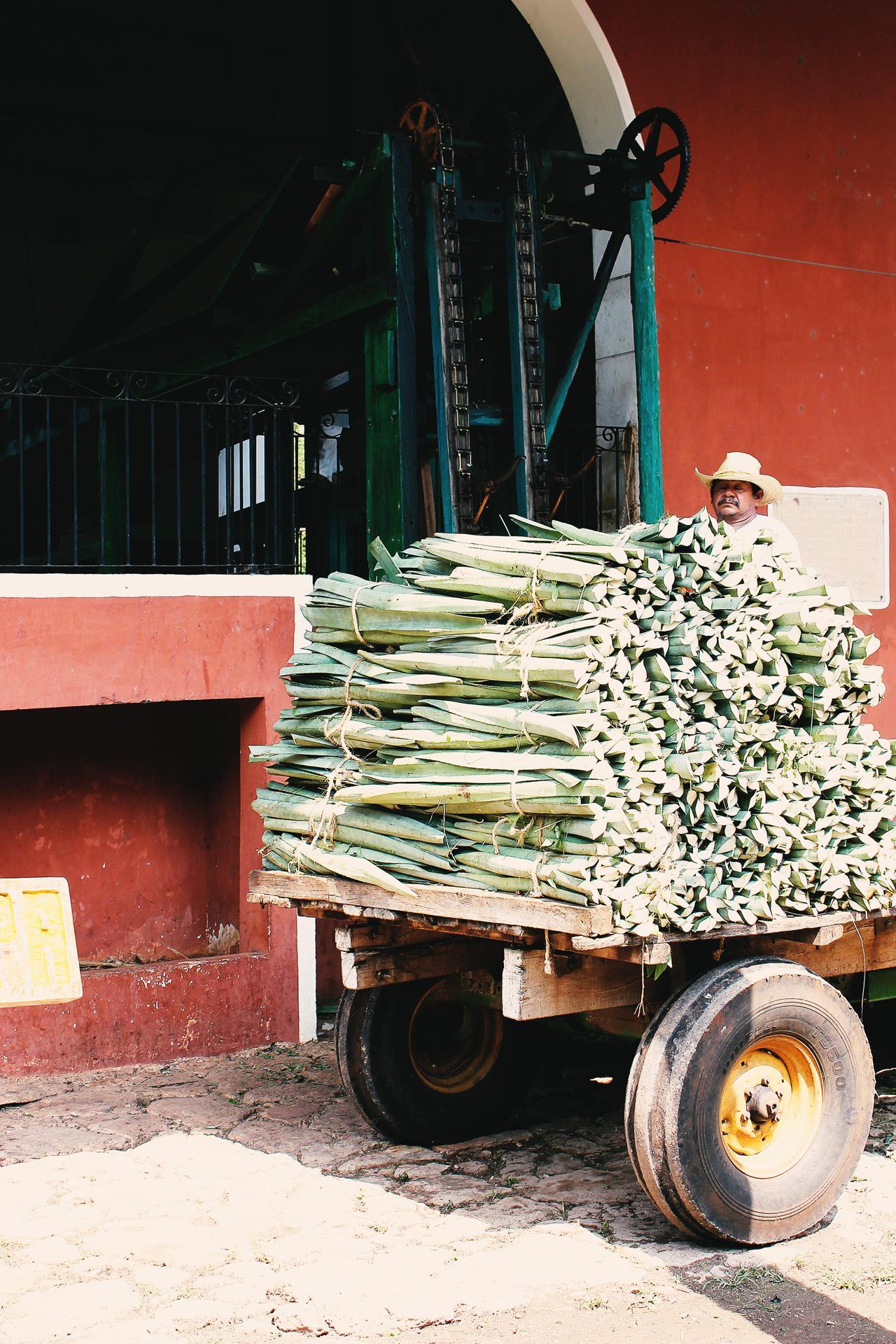 Mexiko Agave