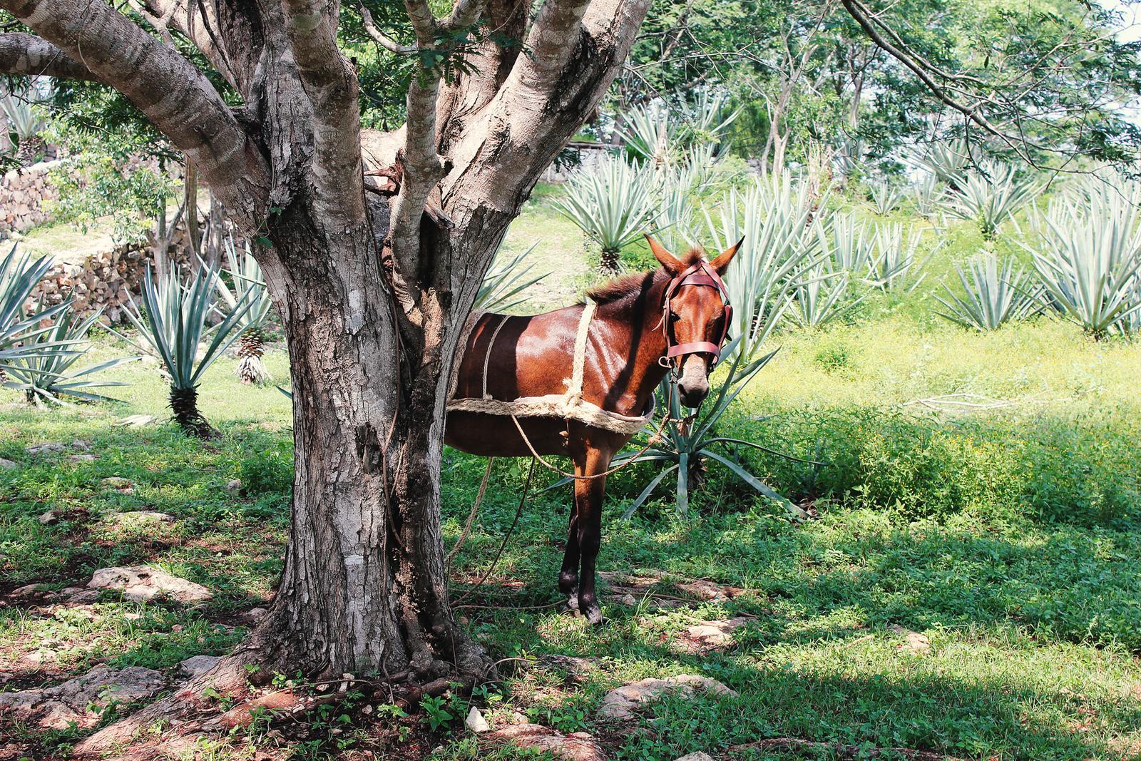 Mexiko Hacienda Agaven
