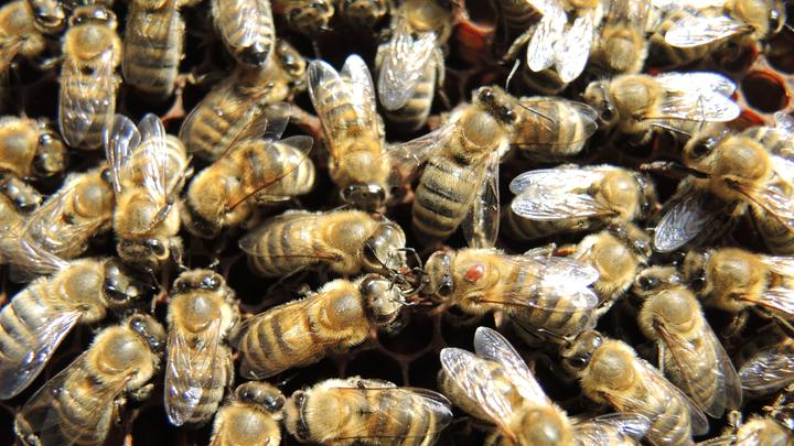 Bienen LL 06112016