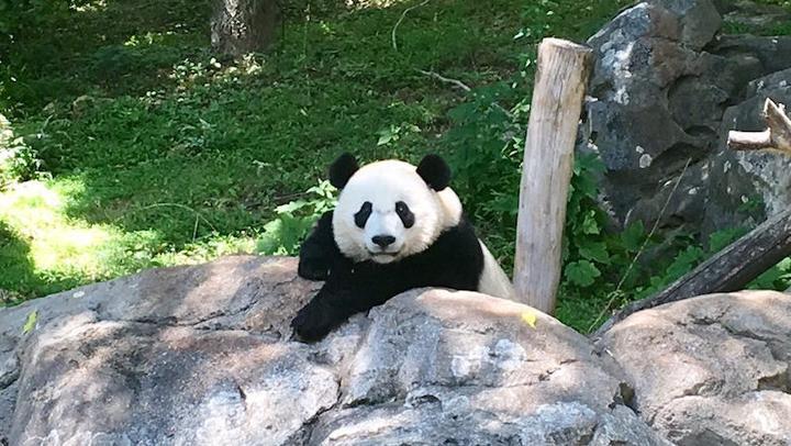 Panda LL 20082017